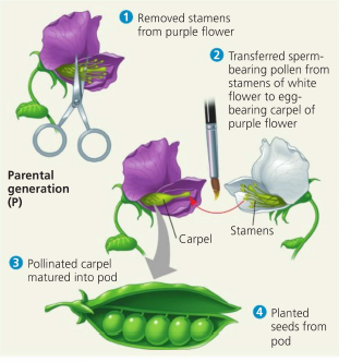 breeding peas