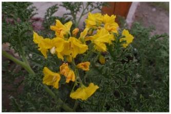 800px-30074-solanum-lycopersicoides-solanaceae